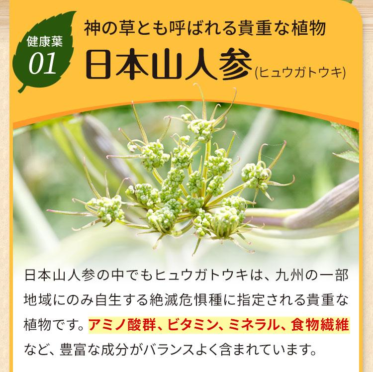 神の草とも呼ばれる貴重な植物 日本山人参(ヒュウガトウキ)